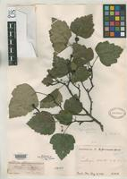 Isotype of Crataegus seducta Sargent, C.S. 1912 [family ROSACEAE]