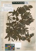 Holotype of Zanthoxylum ferrugineum Radlkofer, L.A.T. 1897 [family RUTACEAE]