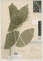 Holotype of Piper davidianum Candolle, A.C.P. de 1920 [family PIPERACEAE]