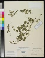 Isotype of Phacelia laxa Small, J.K. 1898 [family HYDROPHYLLACEAE]