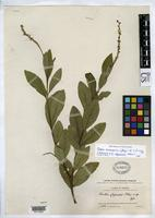 Holotype of Cordia chepensis Pittier, H. 1917 [family BORAGINACEAE]