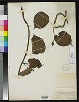 Filed as Prosthecidiscus guatemalensis Donnell Smith, J. 1898 [family ASCLEPIADACEAE]