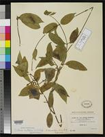 Isotype of Echites laurentiae-disca Rusby, H.H. 1920 [family APOCYNACEAE]