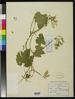 Filed as Gronovia longiflora Rose, J.N. 1899 [family LOASACEAE]