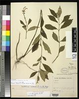 Isotype of Scutellaria isocheila Donnell Smith, J. 1914 [family LAMIACEAE]
