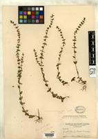 Holotype of Gratiola pilosa var. epilis Pennell, F.W. 1919 [family SCROPHULARIACEAE]