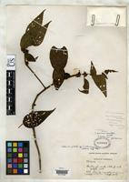 Isotype of Clidemia guaicaipurana Pittier, H. 1947 [family MELASTOMATACEAE]