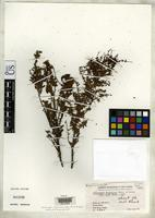Isotype of Haloragis sanguinea Merrill, E.D. & Perry, L.M. 1948 [family HALORAGIDACEAE]