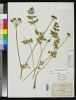 Isotype of Arracacia vaginata Coulter, J.M. & Rose, J.N. 1895 [family APIACEAE]