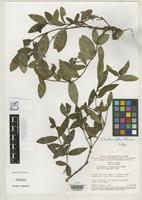 Isotype of Ichthyothere elliptica Robinson, H. 1980 [family ASTERACEAE]