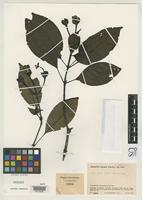 Holotype of Cephaelis diguana Standley, P.C. 1964 [family RUBIACEAE]