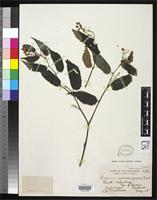 Isotype of Begonia malindangensis Merrill, E.D. 1911 [family BEGONIACEAE]