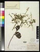 Isotype of Moquilea macrocarpa Pittier, H. 1938 [family ROSACEAE]