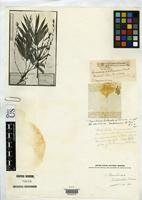 Filed as Guadua pallescens Döll, J.C. 1880 [family POACEAE]