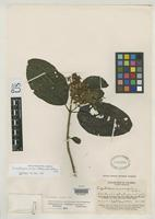 Holotype of Condylopodium killipii King, R.M. & Robinson, H. 1972 [family ASTERACEAE]