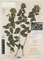Isotype of Vernonia expansa Gleason, H.A. 1906 [family ASTERACEAE]