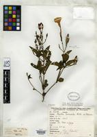 Isotype of Ruellia macrosolen Lillo, M. 1989 [family ACANTHACEAE]