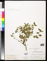 Lectotype of Calceolaria brevis Dowell, P. 1906 [family VIOLACEAE]