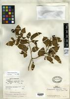 Holotype of Cyphomandra maritima Smith, L.B. & Downs, R.J. 1964 [family SOLANACEAE]