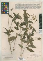 Isotype of Polygala formosa Bennett, A.W. 1889 [family POLYGALACEAE]