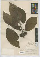 Isotype of Calderonia salvadorensis Standley, P.C. 1923 [family RUBIACEAE]