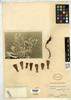 Isotype of Echeveria runyonii Rose, J.N. 1935 [family CRASSULACEAE]