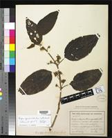 Isolectotype of Hampea integerrima var. appendiculata Donnell Smith, J. 1899 [family MALVACEAE]