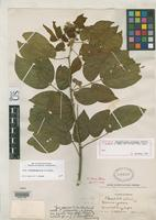 Holotype of Chamaefistula collinsii Britton, N.L. & Rose, J.N. 1930 [family FABACEAE]