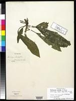Isotype of Delissea hirtella Mann, H. 1867 [family CAMPANULACEAE]