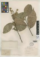 Filed as Styrax caloneurus Perkins, Janet R. 1902 [family STYRACACEAE]