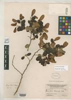 Holotype of Securidaca leiocarpa Blake, S.F. 1927 [family POLYGALACEAE]
