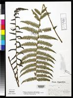 Isotype of Thelypteris delastae Smith, A.R. & Lellinger, D.B. 1985 [family THELYPTERIDACEAE]