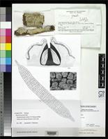 Holotype of Thelotrema grande Hale, M.E. 1973 [family THELOTREMATACEAE]
