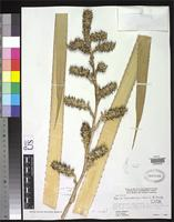 Holotype of Navia hohenbergioides Smith, L.B. 1957 [family BROMELIACEAE]