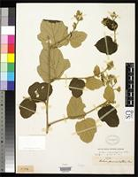 Isotype of Rubus evadens Focke, W.O. 1910 [family ROSACEAE]