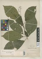 Filed as Cleidion membranaceaum Pax, F.A. & Hoffmann, K.A.O. 1919 [family EUPHORBIACEAE]