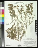 Holotype of Dedeckera eurekensis Reveal, J.L. & Howell, J.T. 1976 [family POLYGONACEAE]