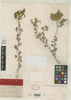 Holotype of Atriplex insularis Rose, J.N. 1890 [family CHENOPODIACEAE]
