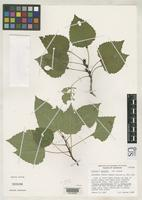 Isotype of Populus barnesii Wagner, W.H. 1970 [family SALICACEAE]