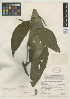 Holotype of Piper grantii Yuncker, T.G. 1950 [family PIPERACEAE]