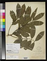 Holotype of Guarea parva Candolle, A.C.P. de 1917 [family MELIACEAE]