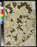 Filed as Ipomoea alterniflora Grisebach, A.H.R. 1866 [family CONVOLVULACEAE]