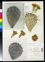 Holotype of Opuntia blakeana Rose, J.N. 1909 [family CACTACEAE]