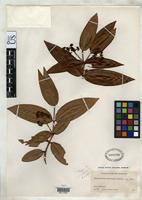 Isotype of Calyptranthes karlingii Standley, P.C. 1930 [family MYRTACEAE]
