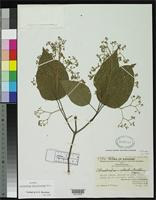 Isotype of Clerodendrum elachistanthum Merrill, E.D. 1944 [family VERBENACEAE]