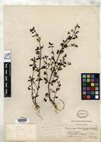 Holotype of Bacopa bracteolata Standley, P.C. 1928 [family SCROPHULARIACEAE]