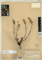 Isotype of Castilleja yukonis Pennell, F.W. 1934 [family SCROPHULARIACEAE]