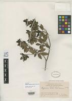 Isotype of Pagamea duidana Standley, P.C. & Steyermark, J.A. 1953 [family RUBIACEAE]