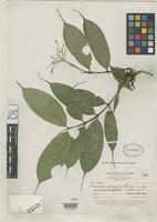 Holotype of Faramea insignis Standley, P.C. 1930 [family RUBIACEAE]