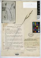 Filed as Arundinaria mairei Handel-Mazzetti, H. von 1926 [family POACEAE]